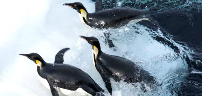 a marcha dos pinguins l'empereur